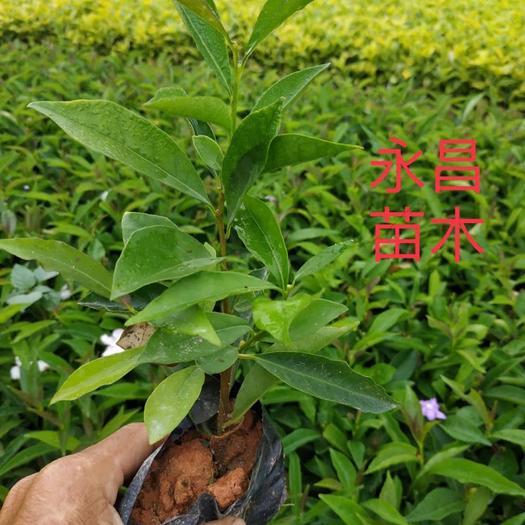 漳浦县 双色茉莉 20-30高五斤七斤袋#福建漳州基地直发 闪电发