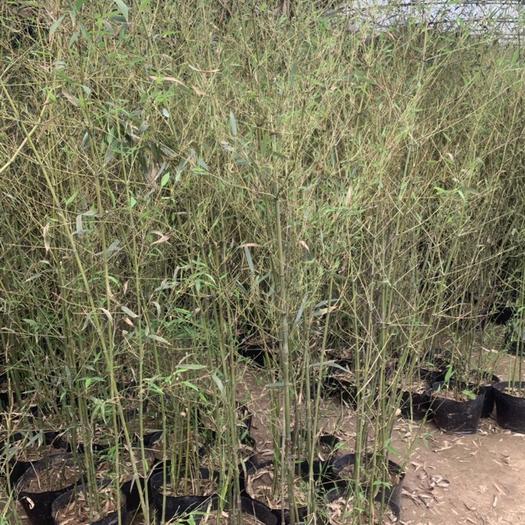 唐山路南區馬蘭花 唐山吉祥苗圃出售各種綠化苗木