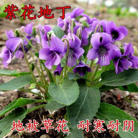 临沂平邑县紫花地丁种子 紫花地丁花种子多年生矮生耐寒耐荫地被庭院景观种子龙胆苦地丁草