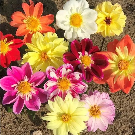 临沂平邑县 重瓣小丽花种子大丽花籽阳台盆栽室外庭院四季易种多年生地瓜花卉