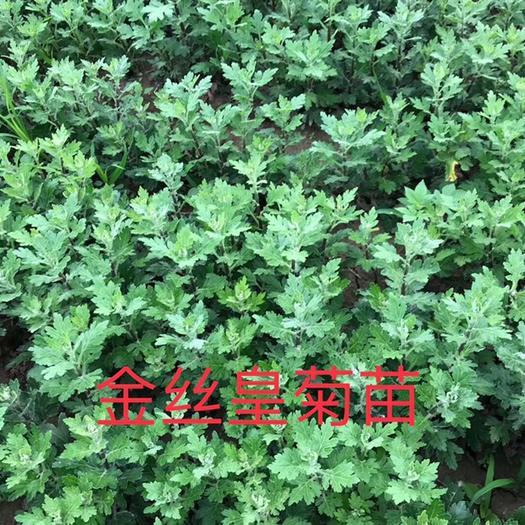 亳州谯城区金丝皇菊苗 品种纯正,优质种苗,基地直供,提供种植技术