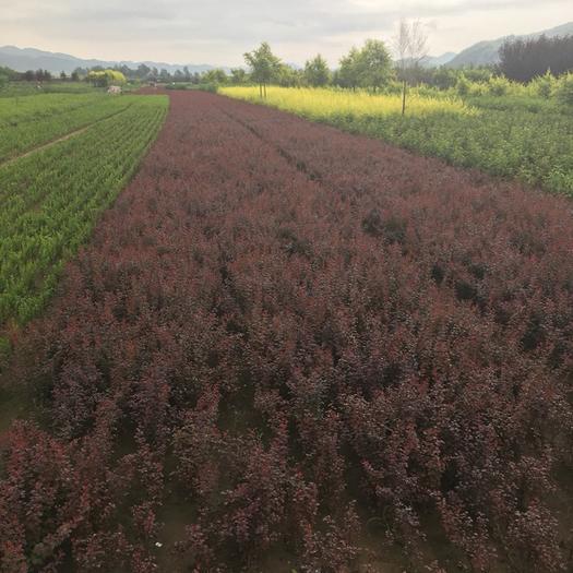 開原市 東北遼寧供應紫葉小檗 紅葉小檗價格優惠