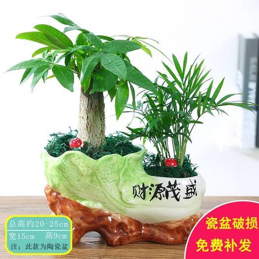 廣州荔灣區 發財樹盤栽