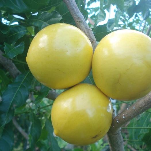 漳州龙海市 进口黄晶果苗 黄金果苗 雅美果 加蜜蛋黄果苗 品种纯正保证