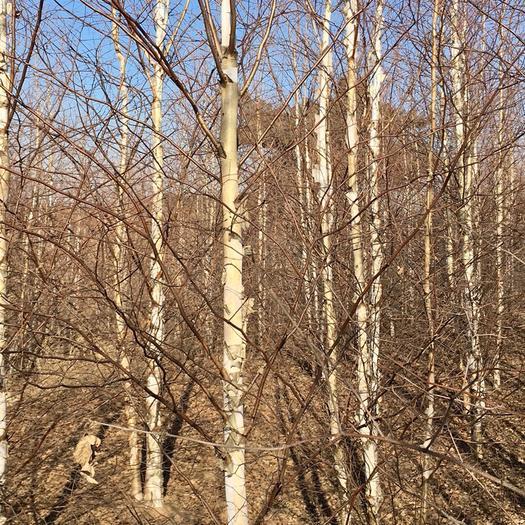 铁岭开原市白桦树苗 东北辽宁供应丛生白桦树独杆白桦原木价格合理规格齐全