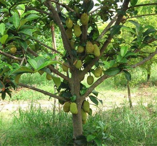 钦州灵山县四季菠萝蜜苗 马来西亚一号