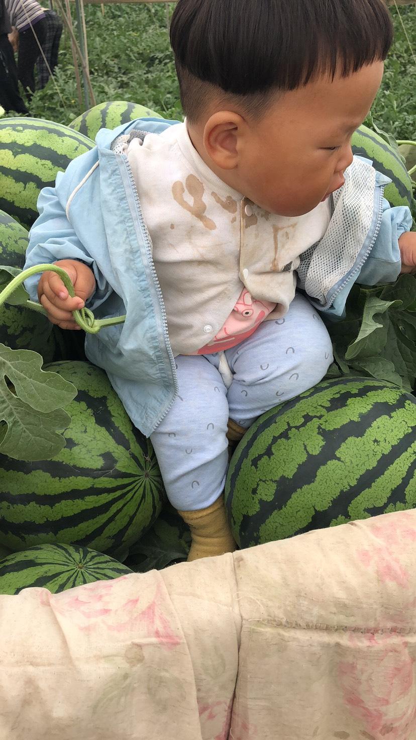 大量批发西瓜 直播苗 酥脆甜