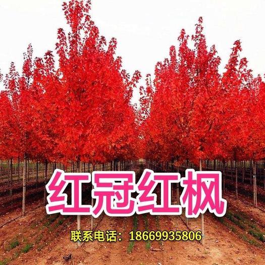 郯城县红枫种子