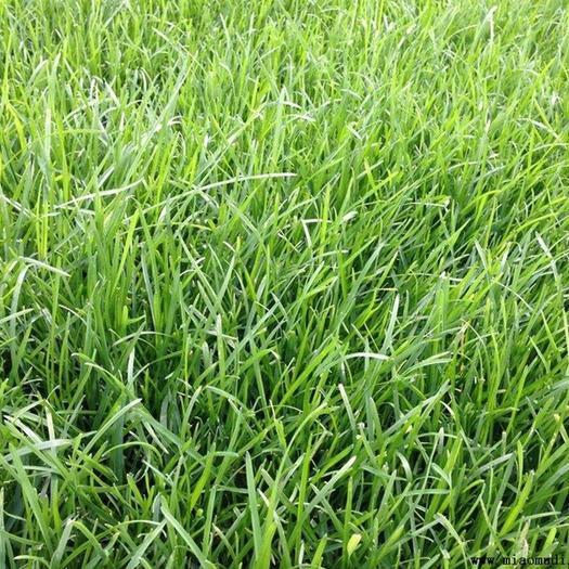 临沂平邑县 早熟禾种子净籽 四季可播产量高每亩25斤/30斤