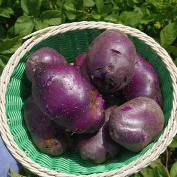 精品黑土豆乌洋芋10斤马铃薯云南小土豆云南特产水果蔬菜代发