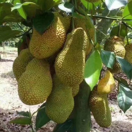 钦州灵山县金枕榴莲苗 榴莲密,榴莲的味道菠萝蜜的外表