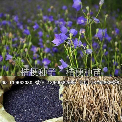 亳州谯城区 桔梗种苗,紫花桔梗苗批发,亳州桔梗种子价格