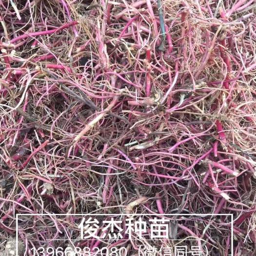 亳州譙城區 紫菀種苗,紫菀苗批發,亳州紫菀芽子價格