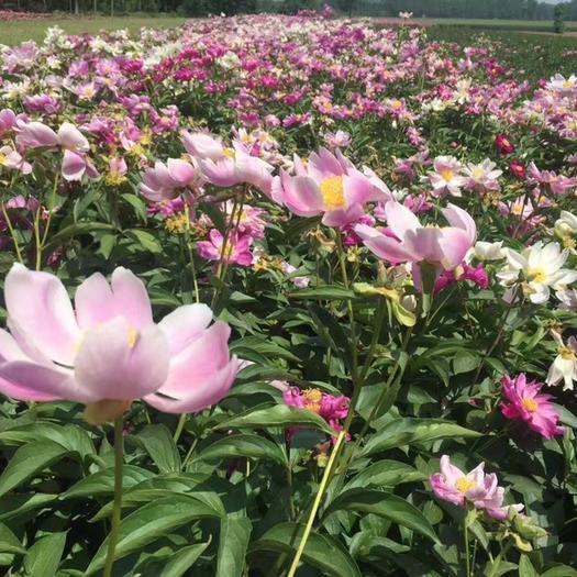 亳州谯城区 大量供应赤芍种子,批发赤芍籽,改良赤芍种子价格,白芍种子