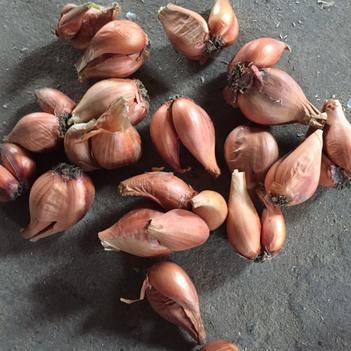 火葱 品质好,价格合理,产量高,全国各地均适合种植,欢迎新老客户来