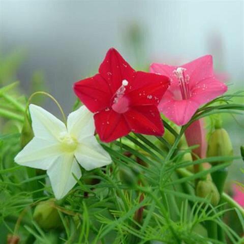 广州羽叶莺萝种子 【买一送一】爬藤羽叶茑萝种子五角星花四季易种阳台