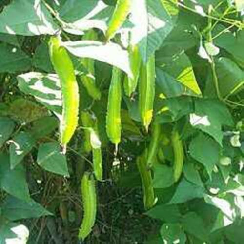 海南省海口市龙华区长寿翼豆 豆中之王