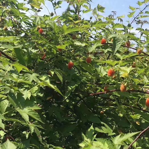 宣城广德县 覆盆子种苗