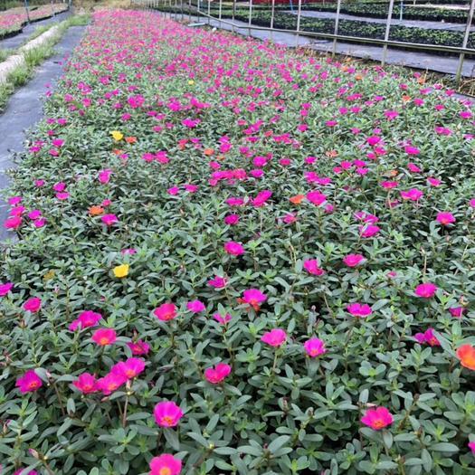 重庆九龙坡太阳花种子 混色小太阳花大量便宜出售了