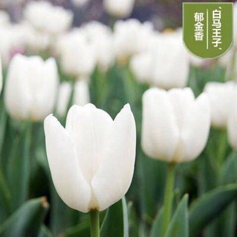 广州海珠区郁金香种子 荷兰进口郁金香种球种子