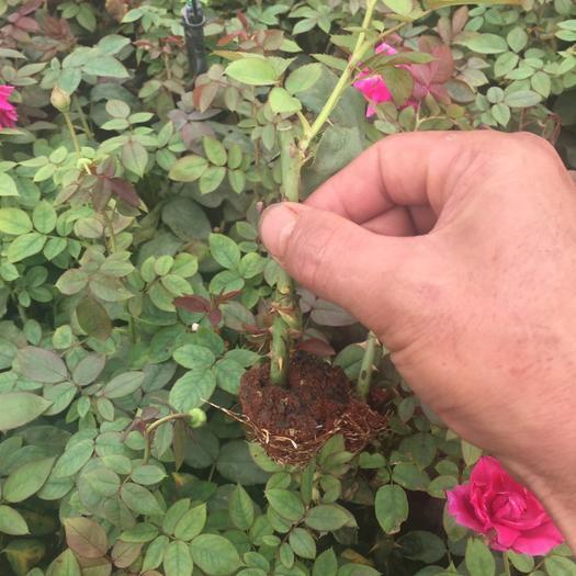 昆明食用玫瑰 以质量为主,扦插选料讲究,以服务至上