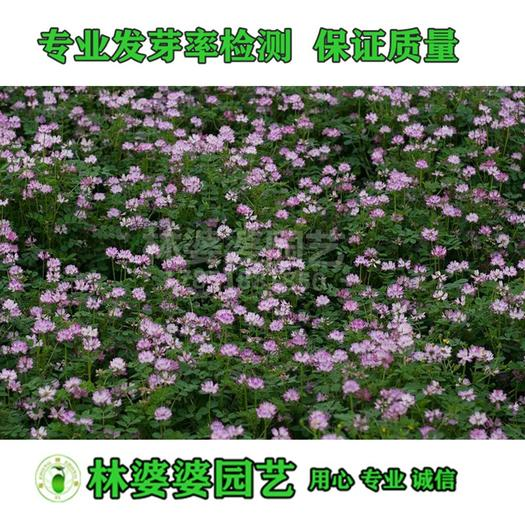 宿迁沭阳县 红三叶草白三叶草种子包邮