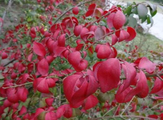 抚州南城县卫矛苗 供应欧洲火焰卫矛小苗进口卫矛品种红叶卫矛树苗