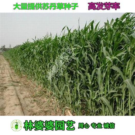 宿迁沭阳县 进口苏丹草种子包邮