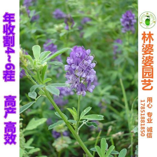 宿迁沭阳县苜蓿草种子 紫花苜蓿种子黄花苜蓿种子新种包邮