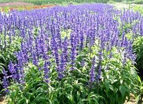 保定安国市 鼠尾草种子 四季播种 简单易活 发芽率高