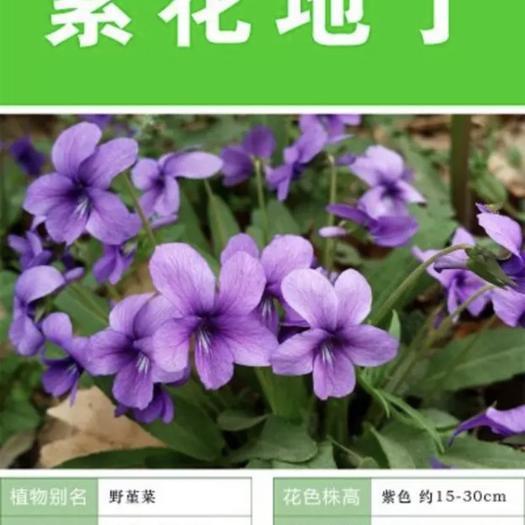 保定安国市 紫花地丁种子 多年生本草 可做绿化花卉 多年生