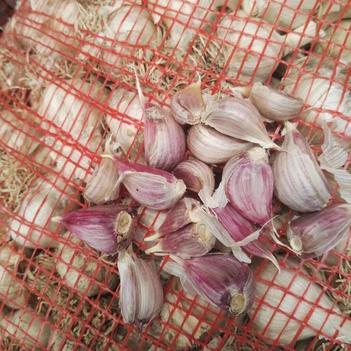 二水早蒜苗 川蒜,二水早熟蒜种,货量充足,2.0到2.5公分