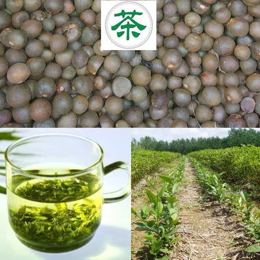 济宁兖州区 绿茶种子