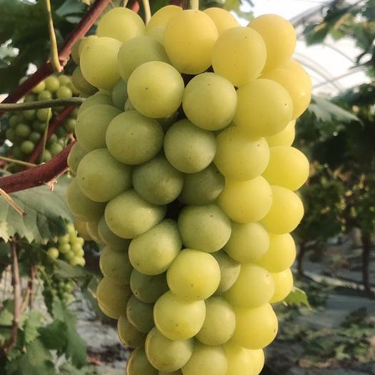 海宁市醉金香葡萄 2斤以上 5%以下 1次果