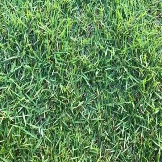 济宁嘉祥县 进口草坪种子 日本结缕草草籽 细叶结缕草种子 沟叶结缕草种子