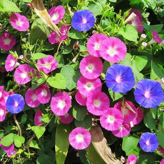 临沂平邑县 大牵牛花种子爬藤植物喇叭花种籽子庭院攀缘牵牛四季易播开花不断