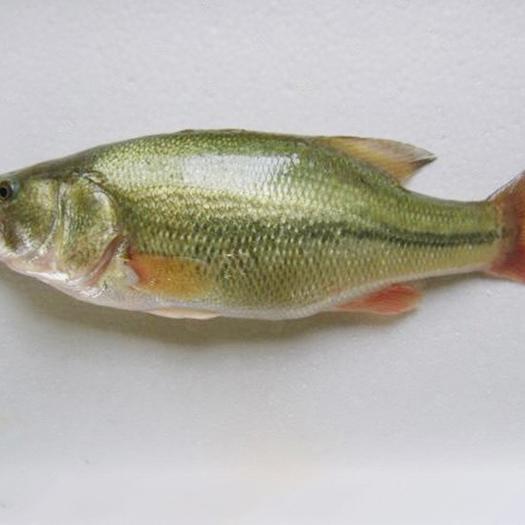 茂名高州市 加州鲈鱼苗 驯化好5cm加州鲈+自孵水花
