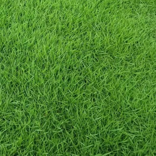 临沂平邑县早熟禾种子 早熟禾 早熟禾草坪种子 早熟禾草种 早熟禾草籽 四季常青