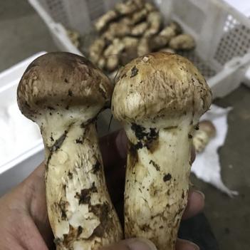 供应香格里拉产地松茸,全部农户手里直收