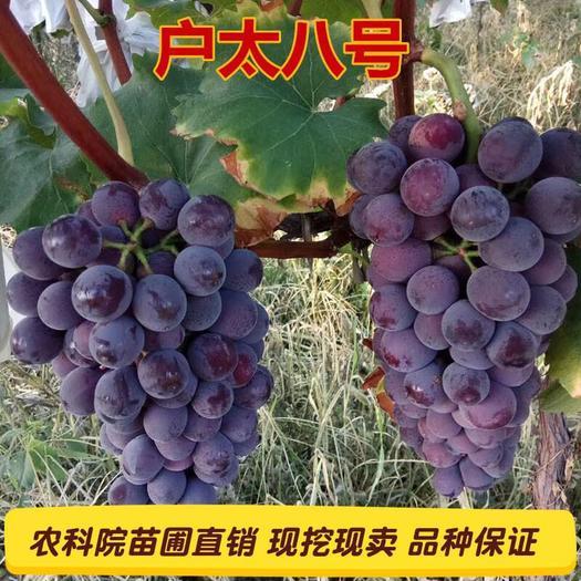 石家庄晋州市 葡萄