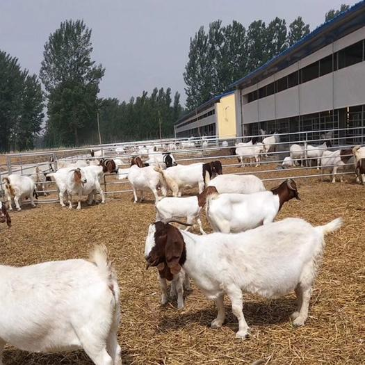 商丘寧陵縣 波爾山羊-青年羊-精品母羊