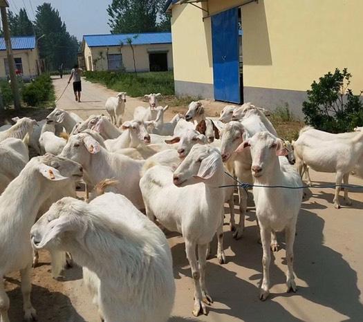 商丘寧陵縣 馬頭山羊-青年羊-繁殖母羊