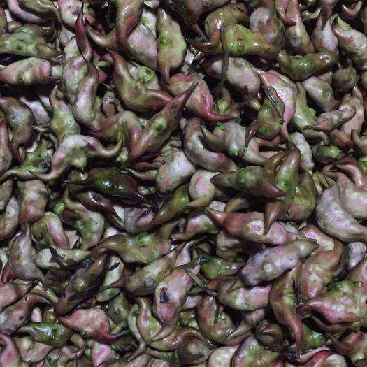 汕头澄海区 大青菱角 新鲜老菱每天都现摘现发保证24小时内新鲜到你手上