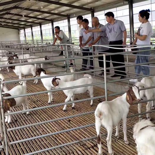 商丘寧陵縣 羊-山羊-波爾山羊-繁殖種羊