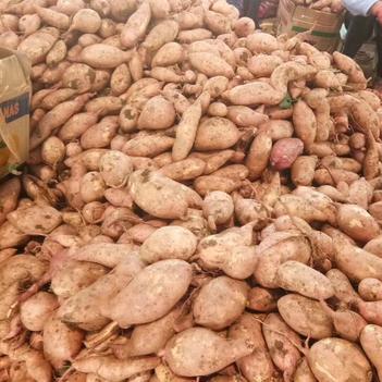 红薯 大量上市 货源充足 表光好看 个头均匀