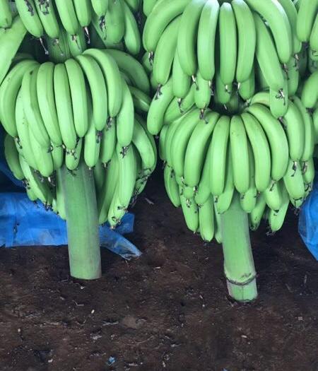 广州广东香蕉1号 刚出的 鸡蕉 包甜