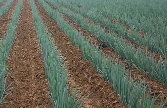 本地常年萬畝基地供應優質元藏,惠和,天光一號大蔥,蔥苗。