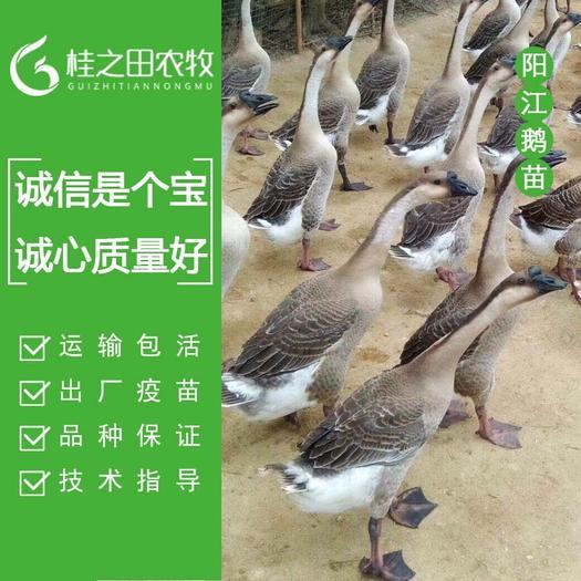 南宁兴宁区 阳江鹅苗批发 厂家直销 纯种优品 包打疫苗 包邮