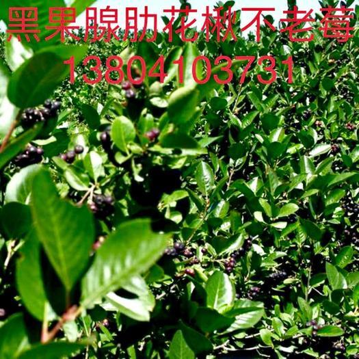 铁岭开原市黑果花楸苗 东北辽宁供应不老莓黑果腺肋花楸容器苗反季节全年均可栽植