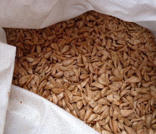 安国市 雪松种子  新种 高发芽率  拒绝低价陈种诱惑